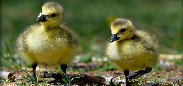 понос у маленьких цыплят