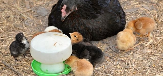 белый понос у цыплят