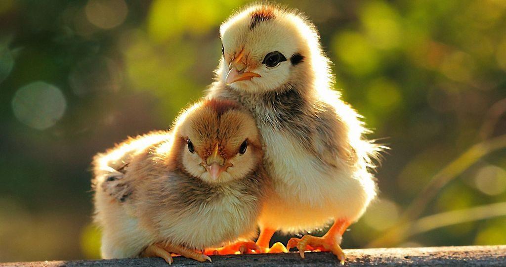 Понос у цыплят: причины и лечение