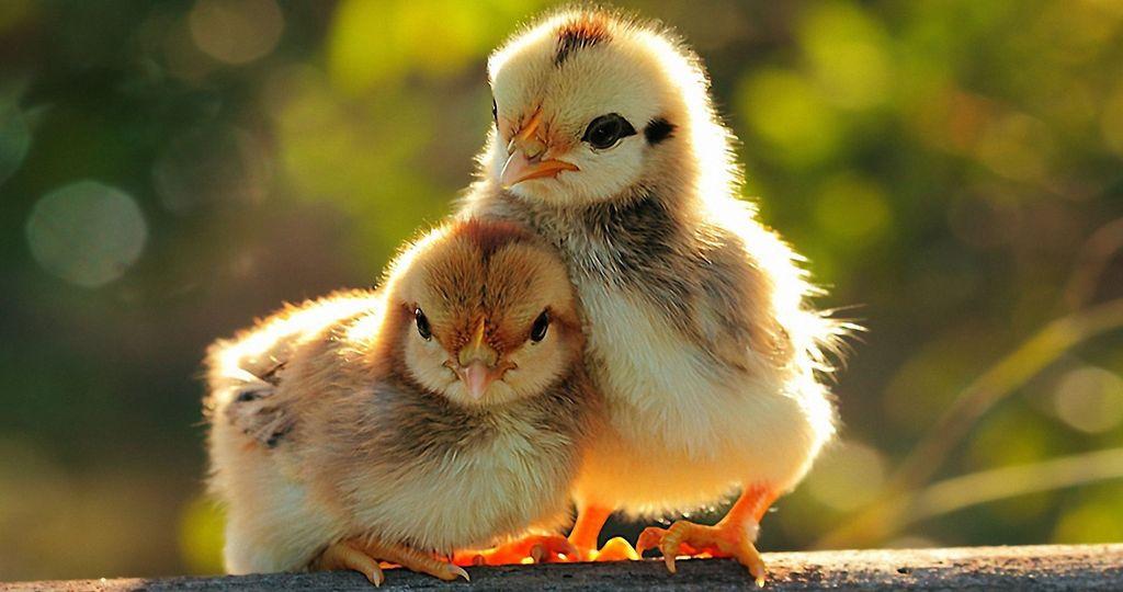 понос у цыплят бройлеров