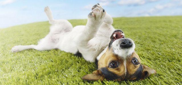 Собака поранила подушечку