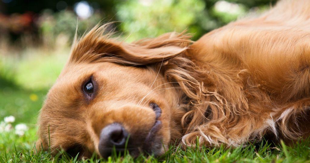 Почему собаки икают – причины и опасности