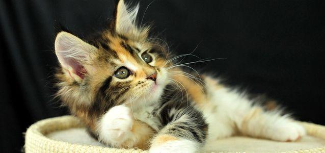 у котенка ломаются усы