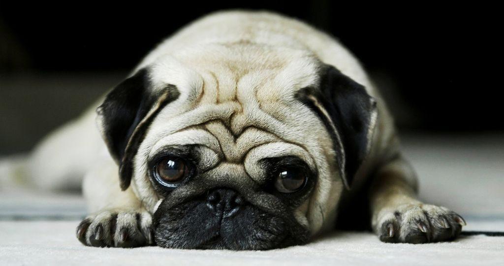 У собаки пропал голос – причины и лечение
