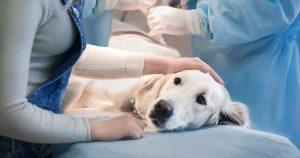 Острое расширение желудка у собак – признаки и лечение