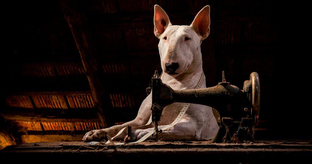 Бультерьер – искренний друг или собака-убийца