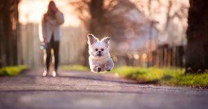 Что делать, если щенок убегает на прогулке