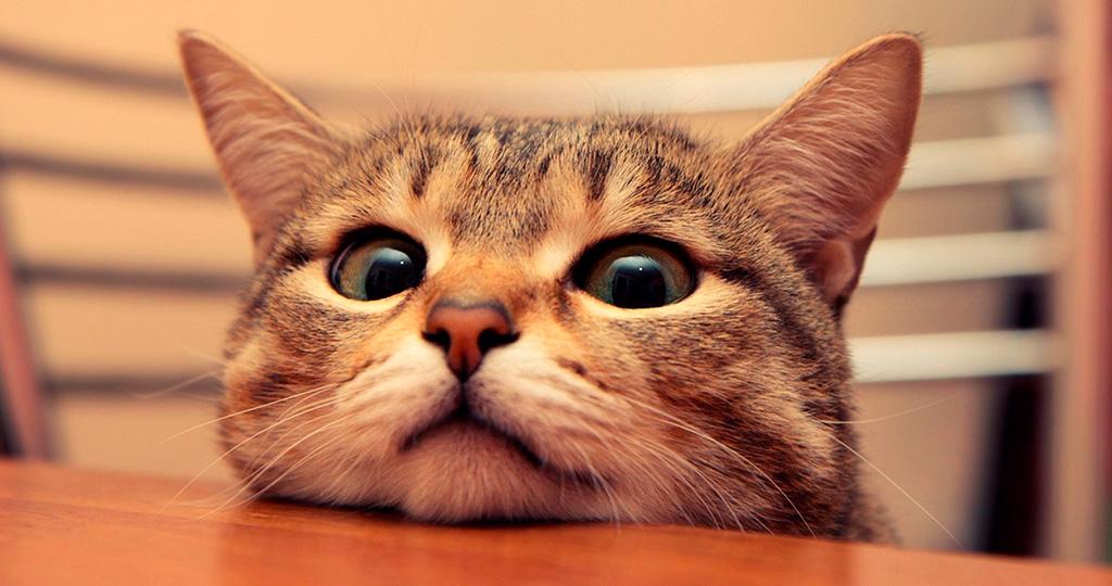 Простые и полезные советы как дать кошке таблетку от глистов