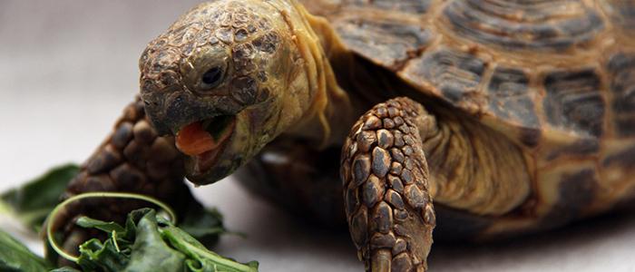 Чем кормить черепах