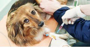 Эклампсия у собак – симптомы и лечение