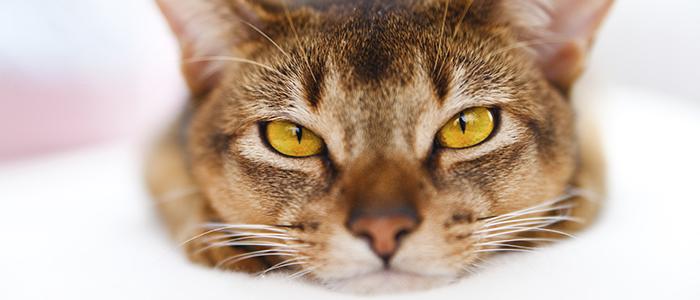 Панлейкопения у кошек лечение