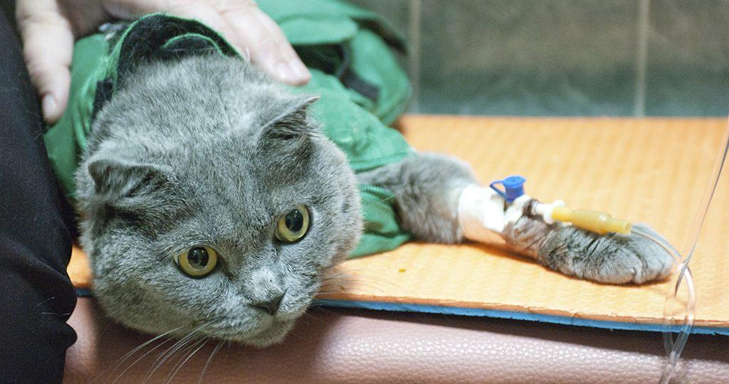 Панлейкопения у кошек – симптомы, лечение и профилактика