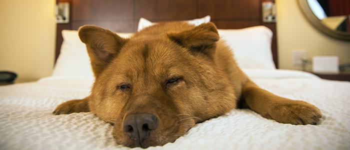 Как путешествовать с собакой в гостинице