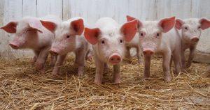 Болезнь Ауески у свиней – признаки, лечение и вакцинация