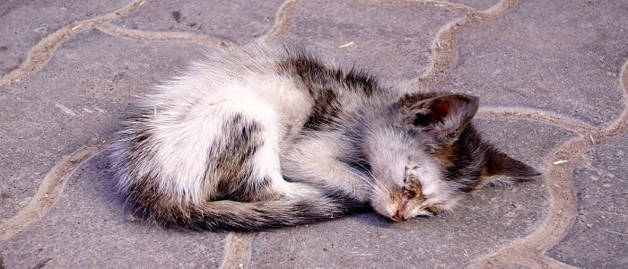 Бордетеллез у кошек симптомы