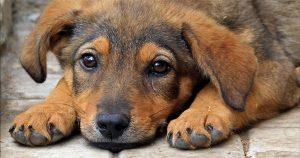 Дирофиляриоз у собак – симптомы, лечение и прогноз жизни