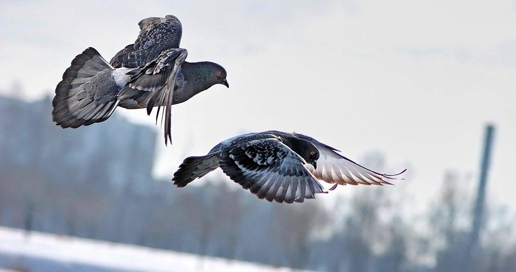 Орнитоз у голубей – симптомы, лечение и профилактика