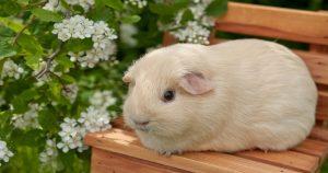 Пододерматит у морских свинок – признаки и лечение