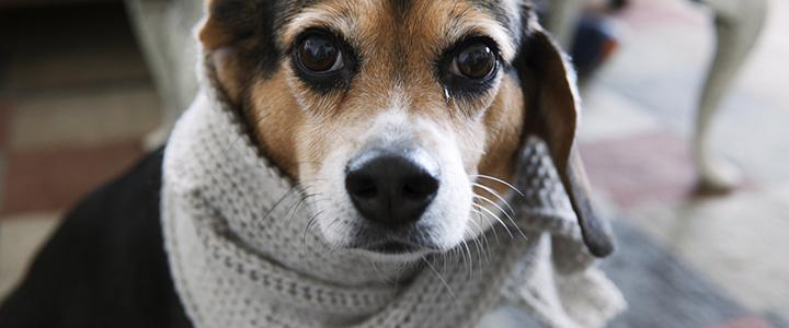 Трахеобронхит у собак
