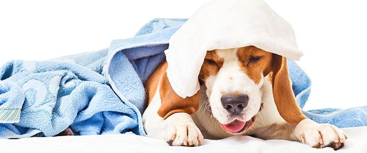 Трахеобронхит у собак инфекционный