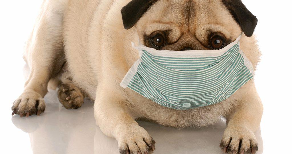 Трахеобронхит у собак – причины и лечение