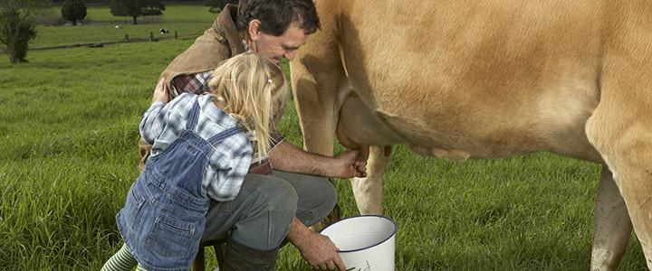 Отек вымени у коровы – что делать