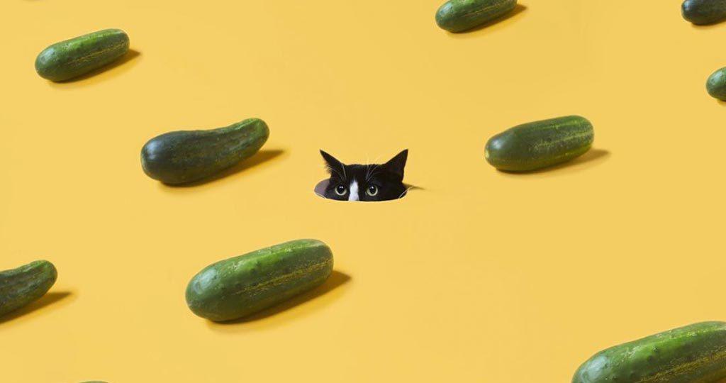 Почему кошки боятся огурцов – причины и пути спасения