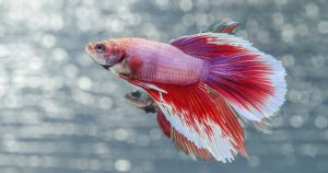 Рыбки-петушки в аквариуме – уход и содержание