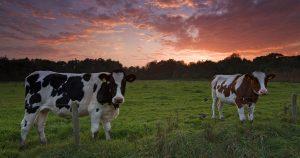 Вши у коров – признаки и лечение
