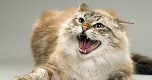 Агрессия у кошки – причины и способы устранения