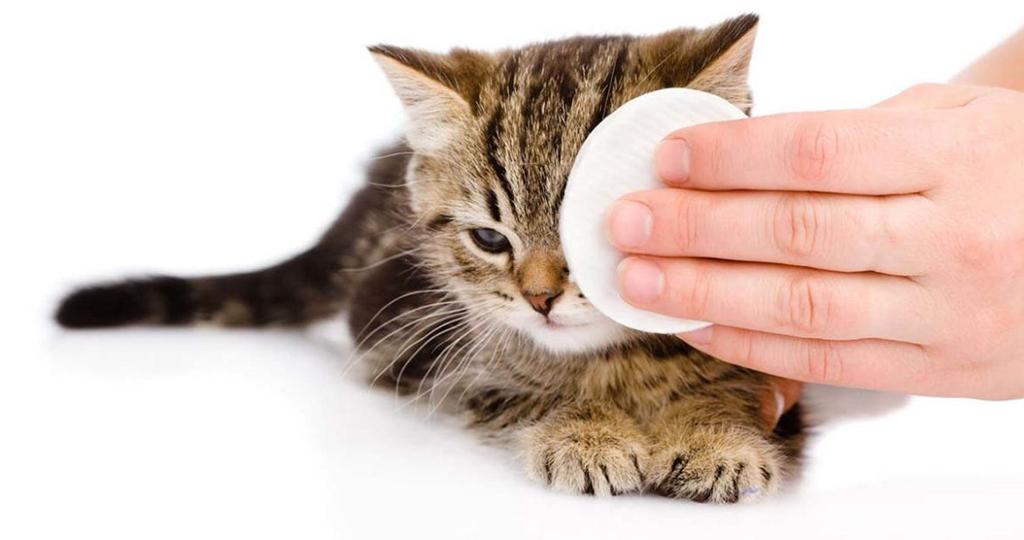 Промываем глаза кошке в домашних условиях: чем промыть при воспалении, можно ли хлоргексидин