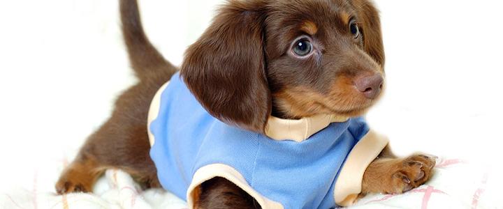 Как приучить щенка таксы к пеленке