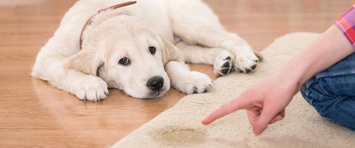 Как приучить щенка лабрадора к пеленке
