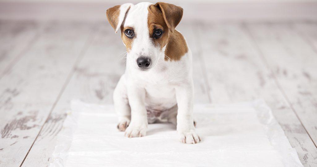 Как приучить щенка к пеленке – крупные и мелкие породы