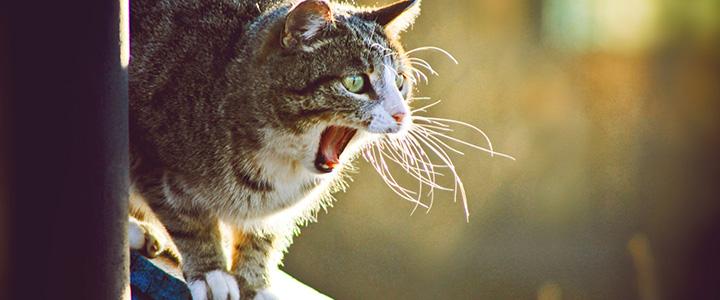 Кастрированный кот орет по ночам