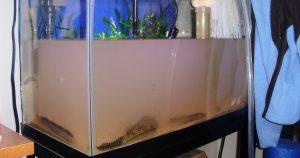 Мутнеет вода в аквариуме – причины и правильная чистка