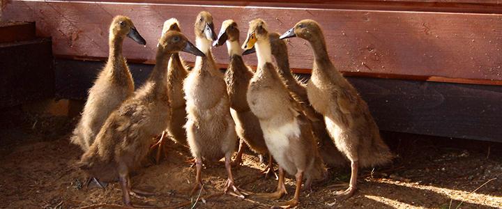 Сколько утка высиживает яйца