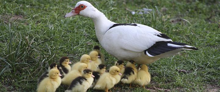 Сколько утка высиживает яйца по времени