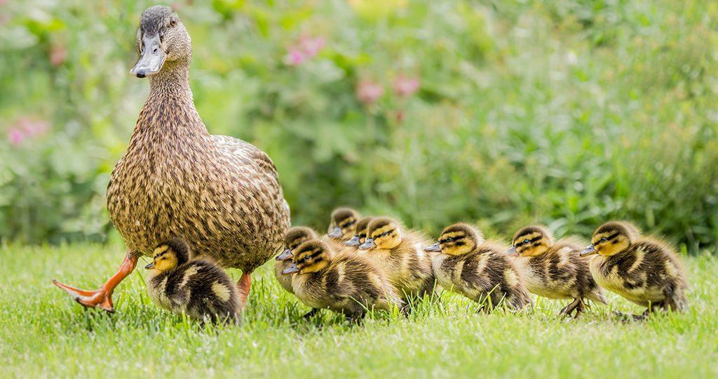 Сколько каждая порода уток высиживает яйца