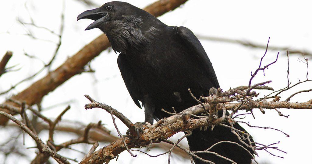 Сколько живут вороны на воле и в неволе