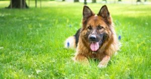 Собаку укусил клещ – что делать и опасные симптомы