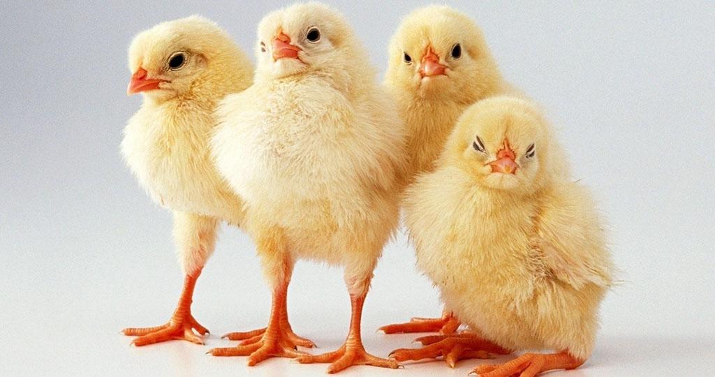 Цыплята клюют друг друга до крови – что делать и причина
