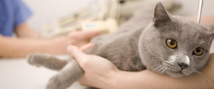 Как лечить вирусный перитонит у кошек