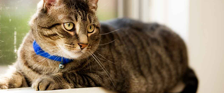 Передается ли человеку вирусный перитонит у кошек