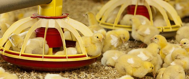 Чем кормить цыплят-бройлеров – корма