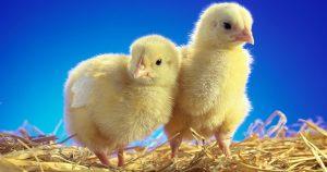 Чем кормить цыплят-бройлеров – рацион по неделям