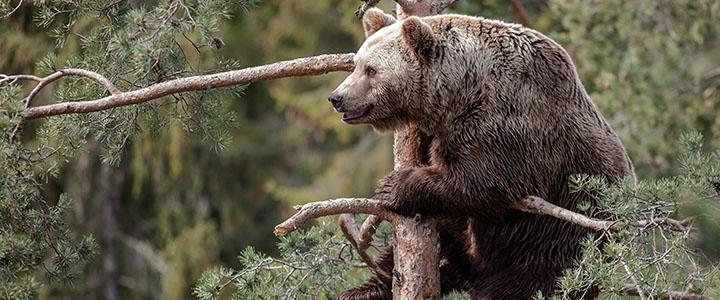 Что делать, если встретил в лесу медведицу