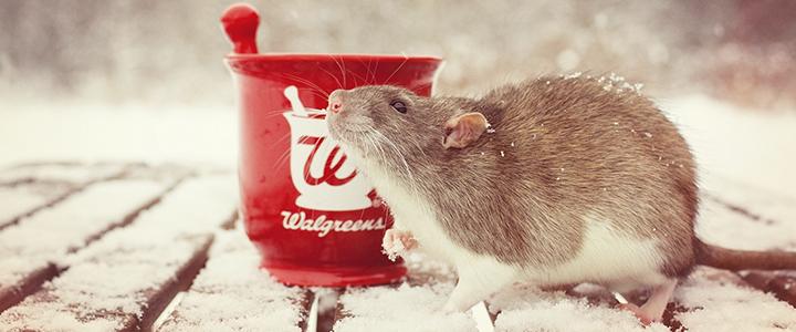 Крыса чешется до крови