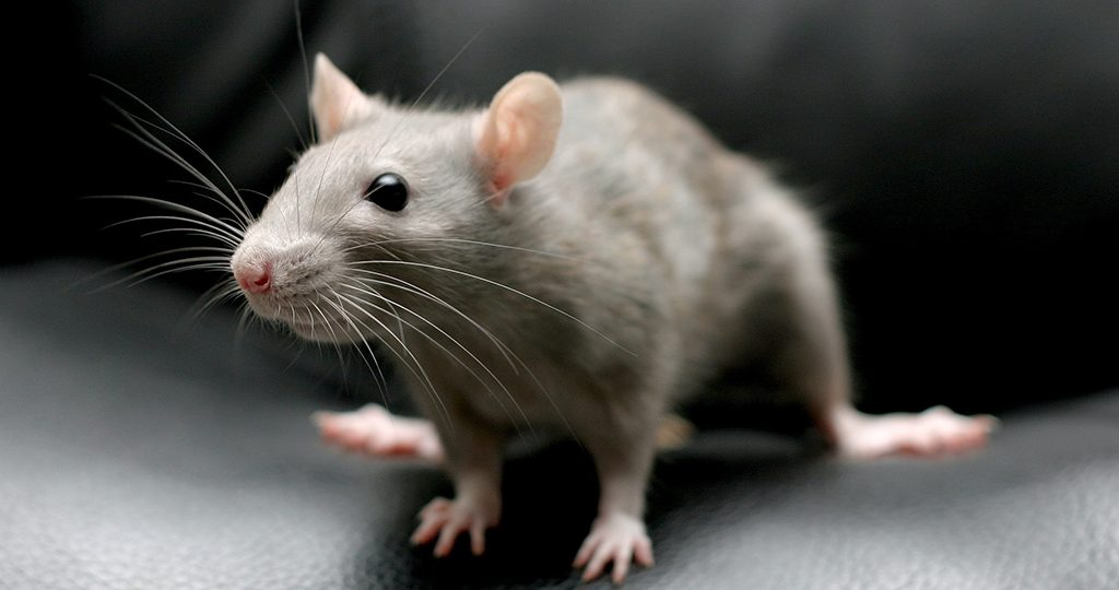Крыса чешется – почему и что делать