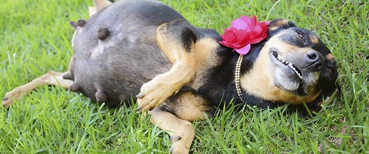 Как проявляется ложная беременность у собак